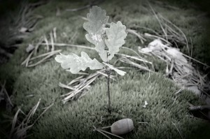 seedling with acorn bw